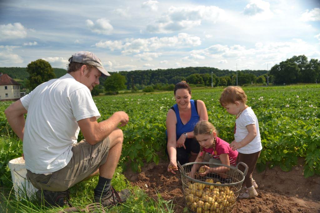 Erste Ernte der Frühkartoffeln