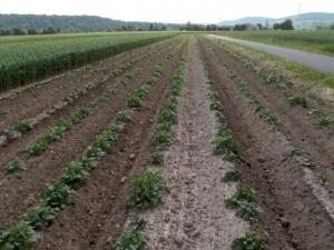 Kartoffelpflanzen spitzen aus dem Acker