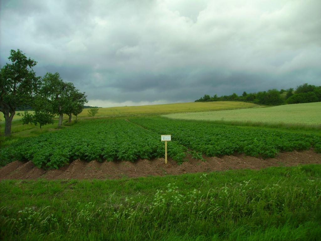 Die Kartoffel wachsen fleißig